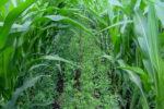 Interseeded Alfalfa