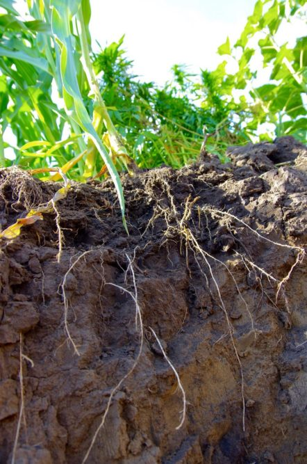 Different crops come with much different rooting zones, and soil specialists are urging farmers to keep that in mind when choosing cover crop mixes. photo: Alexis Stockford