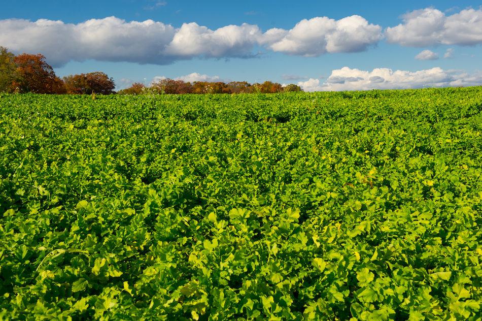 Cover crops Canada