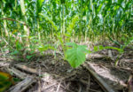 Cash crops and cover crops