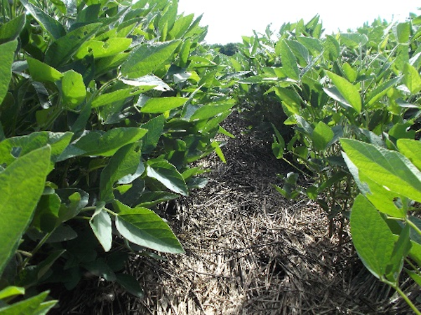 Fighting Waterhemp with Cover Crops