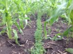 Interseeded Cover Crops