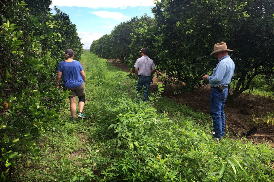 Florida citrus groves