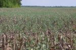Canadian Cover Crops