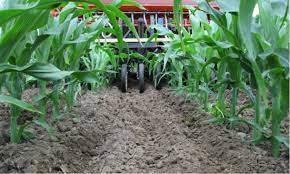Interseeding Corn