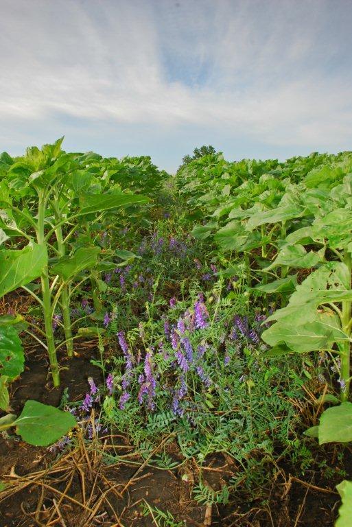 Cover crops, No-Till Farmer E-Tip