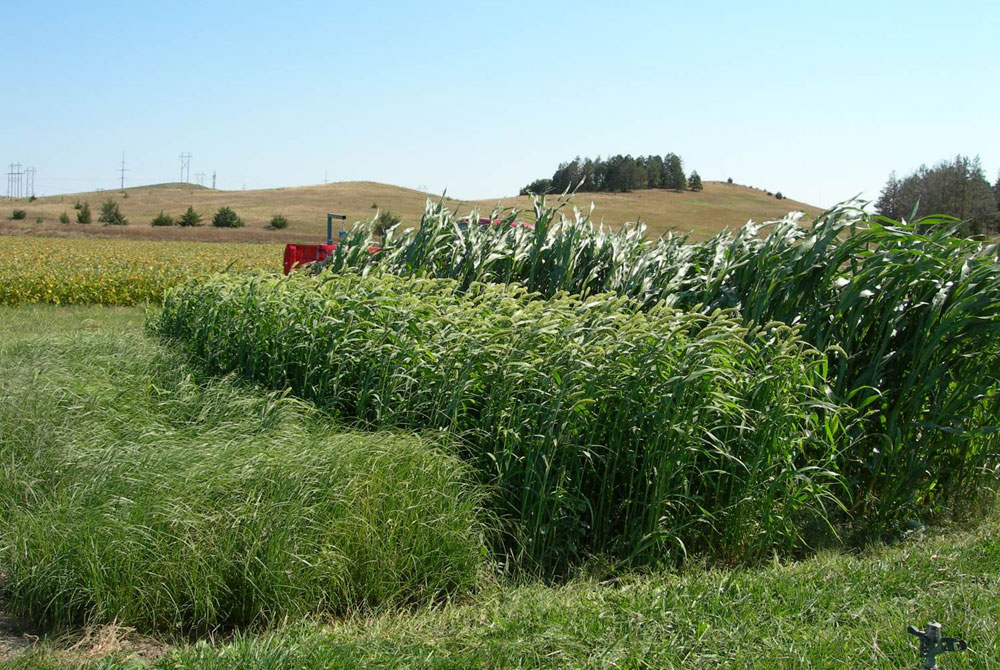 Jerry-Volesky-Forage-after-irrigated-wheat-Summer-Annuals.jpg