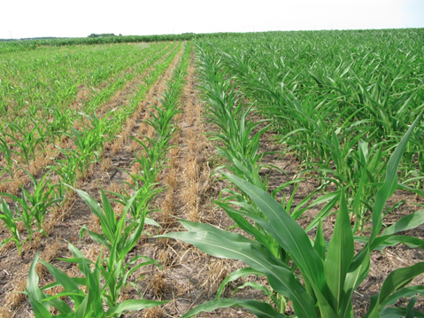 Cover crops and nutrient uptake